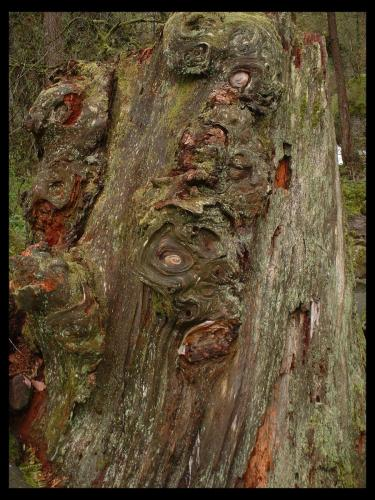 Knoted Stump